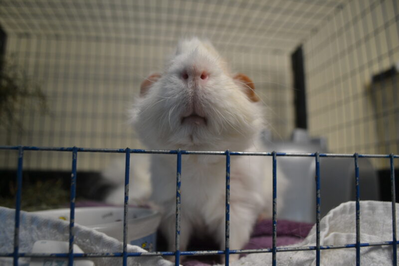 Consider Before Adopting A Guinea Pig, Can You Use Microfiber Towels For Guinea Pig Bedding